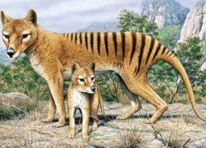 tasmanian-tiger-wolf